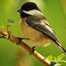 BLACK CAPPED CHICKADEE by RoseMarie747