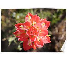 Indian Paintbrush - Red Explosion Poster