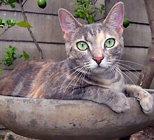 Kitten in a bird bath by ambermay