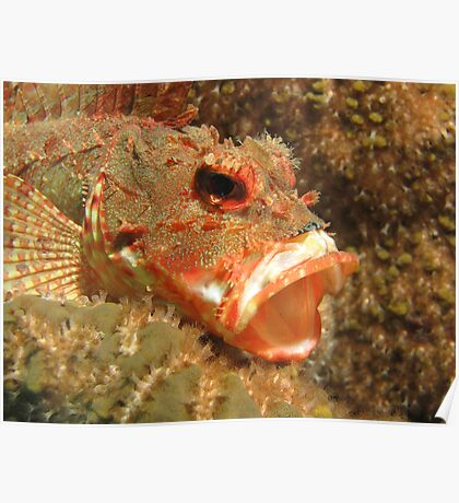 Yawning Red Rock Cod Poster