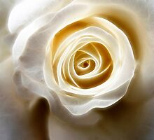 White Rose by aka-photography