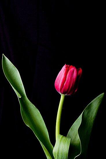 Red Tulip by wendywoo1972