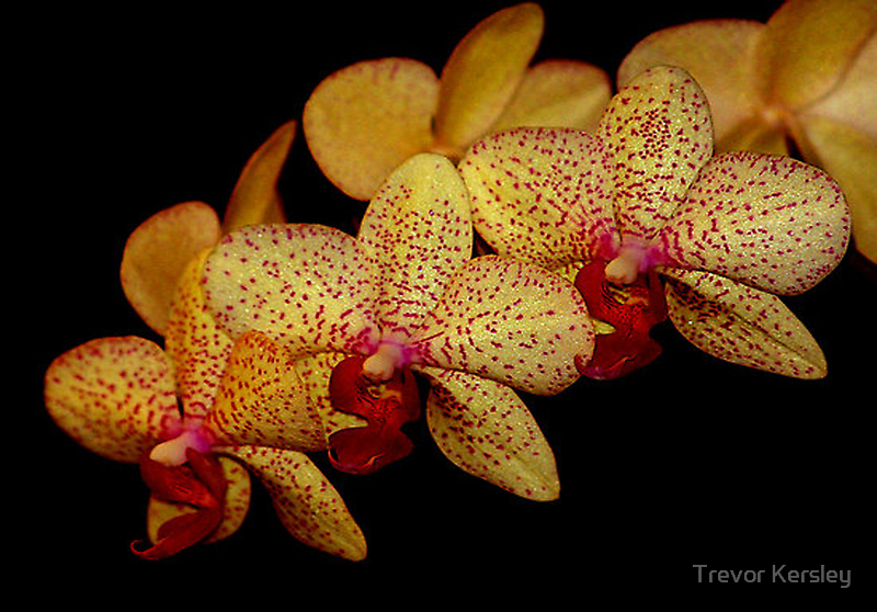 Orchid by Trevor Kersley