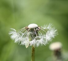 Blowing in the wind, Dandelions by kremphoto