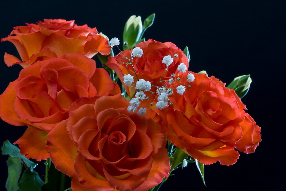 Roses by Michael Hadfield