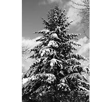 Pine Tree in the Snow Photographic Print