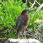 Green heron by nealbarnett