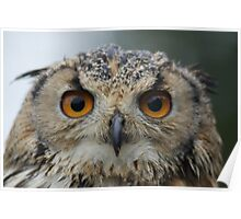Nipper, The Bengal Eagle Owl Poster