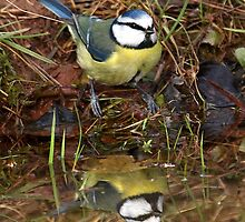 Reflections of a Blue Tit by Mark Hughes