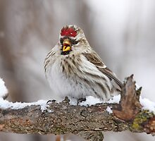 Female Redpoll calls for her mate by Jim Cumming