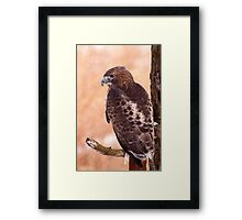 Red-tailed hawk Framed Print