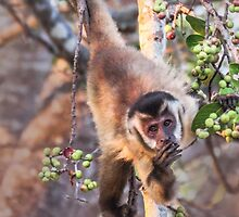 Fig loving Capuchin monkey by Linda Sparks