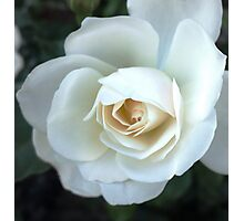 A White Rose Photographic Print