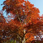 Copper Beech tree in rural Hampshire  by Alex Cassels