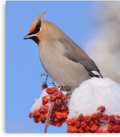 Bohemian Waxwing by Patrick Kavanagh