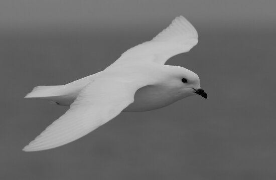Snow Petrel of Antarctica by Coreena Vieth