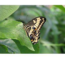 Emperor Swallowtail Photographic Print