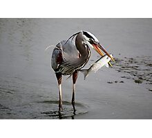 Great Blue Heron with Fish Photographic Print