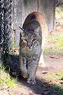 Bobcat #2 by AuntDot