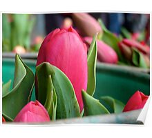 Beautiful red tulip Poster