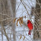 Red Cardinal in winter by mltrue