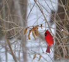 Red Cardinal in winter by mltrue