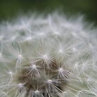 Dandelion Up Close by Amy Dee