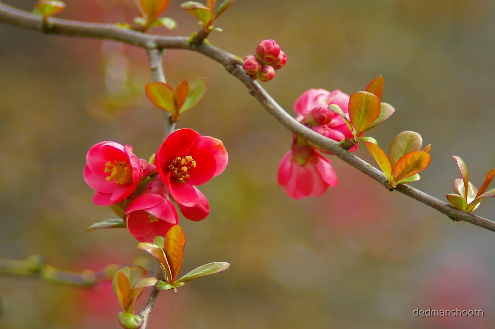 flowering quince by dedmanshootn