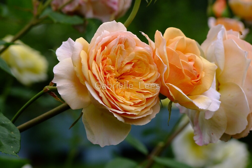 An Old Fashion David Austin Rose! by Gabrielle  Lees