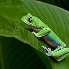 Green Eyed Tree Frog by Raymond J Barlow