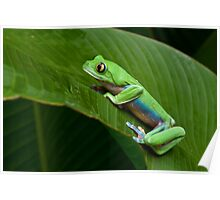 Green Eyed Tree Frog Poster