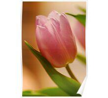 Gentle Tulip  Poster