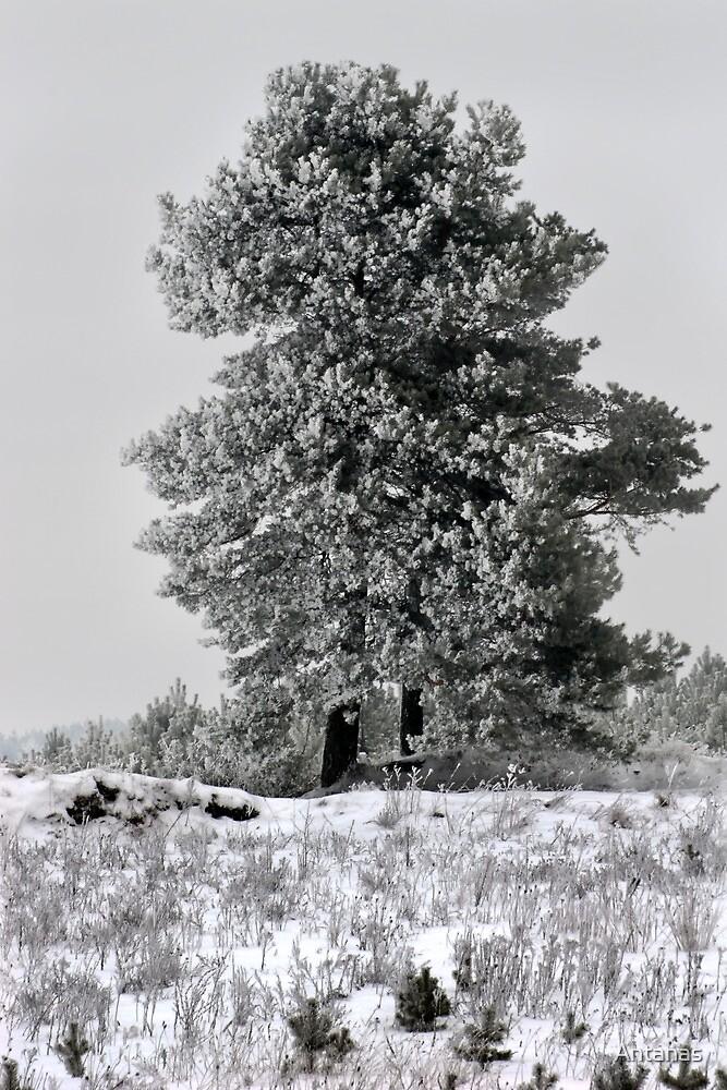 Pines in winter season by Antanas