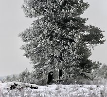 Pines in winter season by Antanas