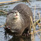 Otter on ice eating ice  by DutchLumix