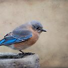 Sweet Little Bluebird by Bonnie T.  Barry