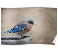Sweet Little Bluebird Poster