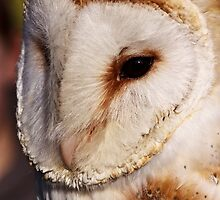 Barn owl portrait by Shaun Whiteman