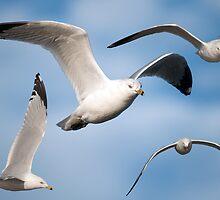 Seagulls by imagetj