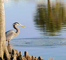 Great Blue Heron with small catch by Ben Waggoner