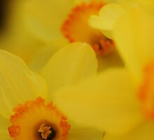 Bursting Daffodils by KatWolfe