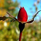 Rosebud by Sharon Woerner