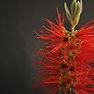 Crimson Bottle Brush by chrisuk