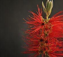 Crimson Bottle Brush by chrisuk