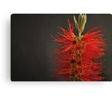 Crimson Bottle Brush Canvas Print