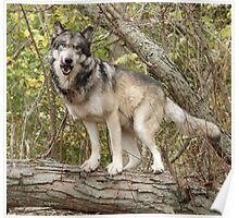 Ruedi the tree wolf Poster