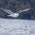 Gull by Mathieu Longvert
