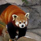 Red Panda Leaving His Den by Robert Miesner