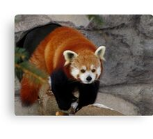 Red Panda Leaving His Den Canvas Print