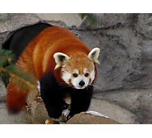 Red Panda Leaving His Den Photographic Print